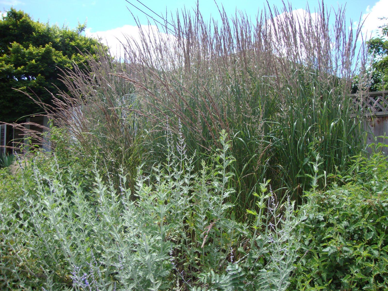 Danger garden gardening with grasses not lawn for Best grass for garden