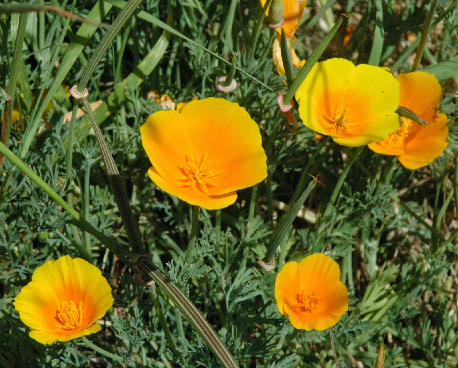 A Hundred Different Things California Poppy