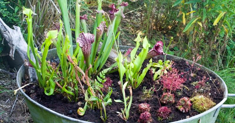 dins min gardin un jardin dans le nord une nouvelle tourbi re plantes carnivores. Black Bedroom Furniture Sets. Home Design Ideas