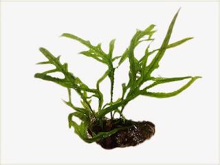 gambar-Microsorum-Trident-tanaman-pakis-fern-aqua5cape