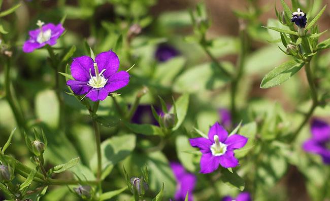 Legousia Speculum-Veneris Flowers