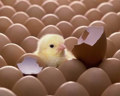 بيضة-فقس-فرخة-دجاجة-دجاج
