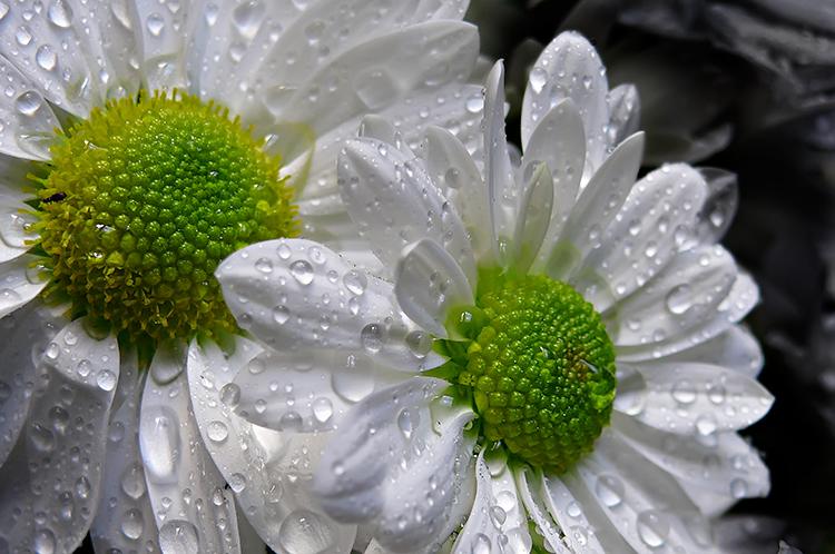 flores do jardim letra : flores do jardim letra:Guinevere: Calendário Anual das Fadas & Flores