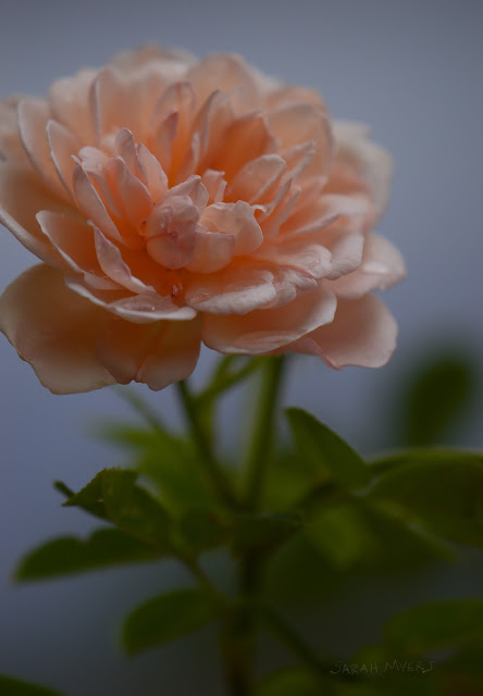 roses, rose, flower, rain, storm, weather, sky, bloom, flowers, water, peach, rosa, natura, plantas, blue, garden, Sarah Myers, nature, photography, digital, beauty, gentle, atmospheric, plants, dew, desert, photograph, macro, up-close, detail, petals, leaves