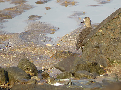 Camouflaged Common Sandpiper