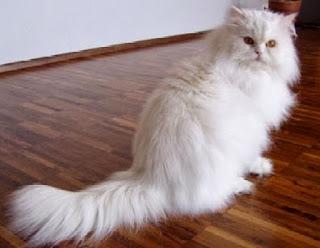 Merawat Kucing Persia : Tips dan Cara Memberi Makan Kucing Persia
