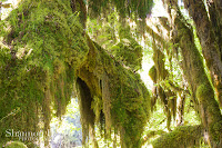 Shannon Hager Photography, Hoh Rainforest, Hall of Mosses