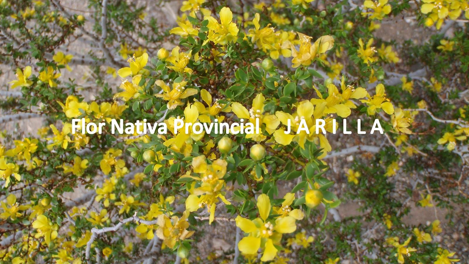 las jarillas son arbustos que pueden medir entre y metros con follaje verde brillante y flores amarillas que florecen desde octubre a fines de