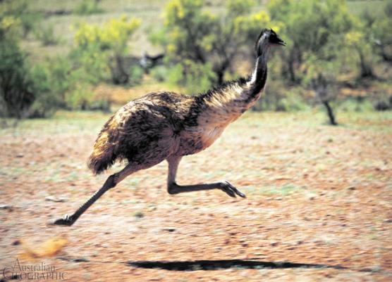 how to raise an emu