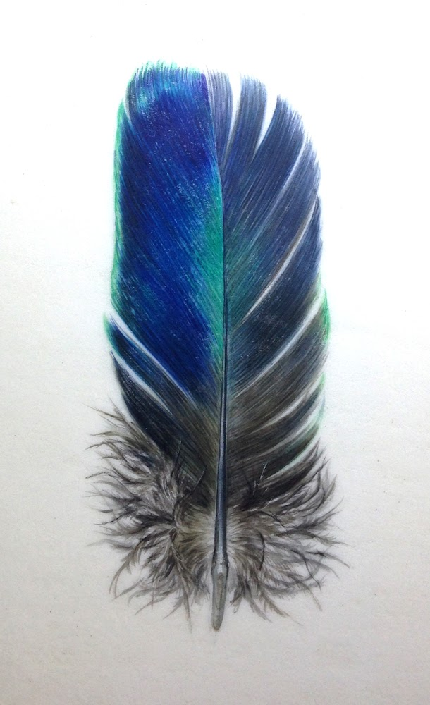 Blue Peacock feather painting in watercolour on vellum