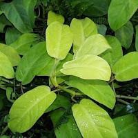 hojas de la planta