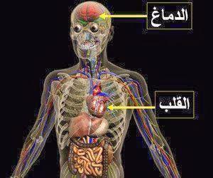 جمجمة قلب دماغ هيكل تشريح جسم الانسان اوعية دموية عضلات
