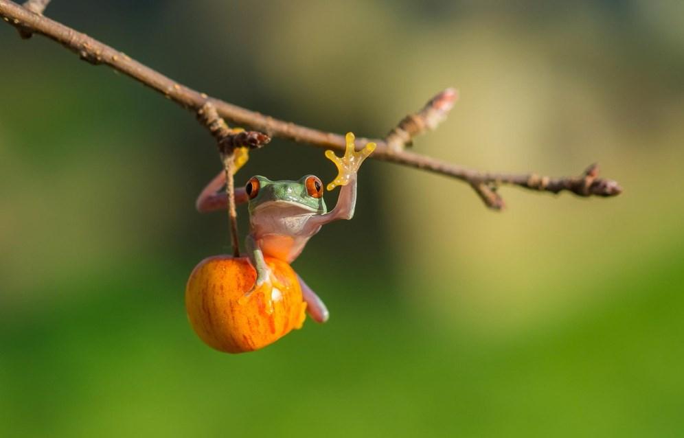 katak pemanjat pohon Fotografi Foto Macro Katak dan Fakta Unik Tentang Katak
