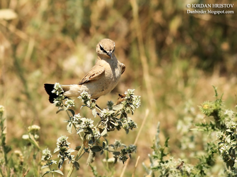 Isabelline Wheatear photography in Bulgaria