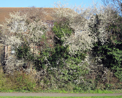 Blackthorn bush in Hayes