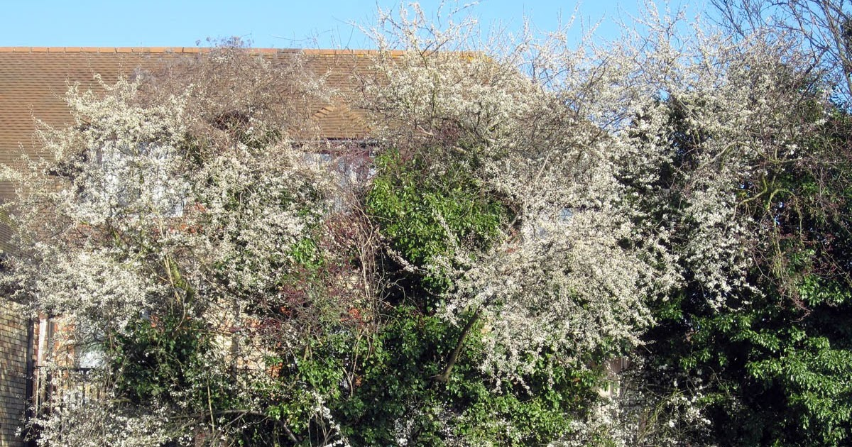Blackthorn Bush Grow Naturally In South U S
