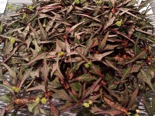 Philadelphia Flower Show Euphorbia