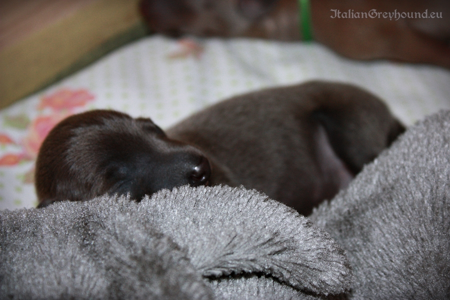 Italian Greyhound Puppies kennel Stupor Mundi FCI