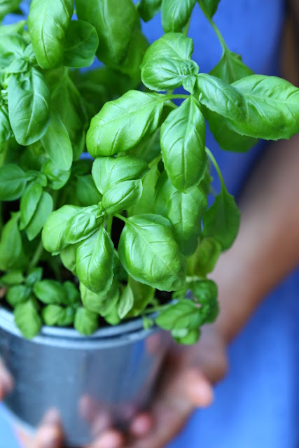 Basil in a zinc pot