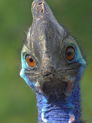 cassowary bird pictures closeup
