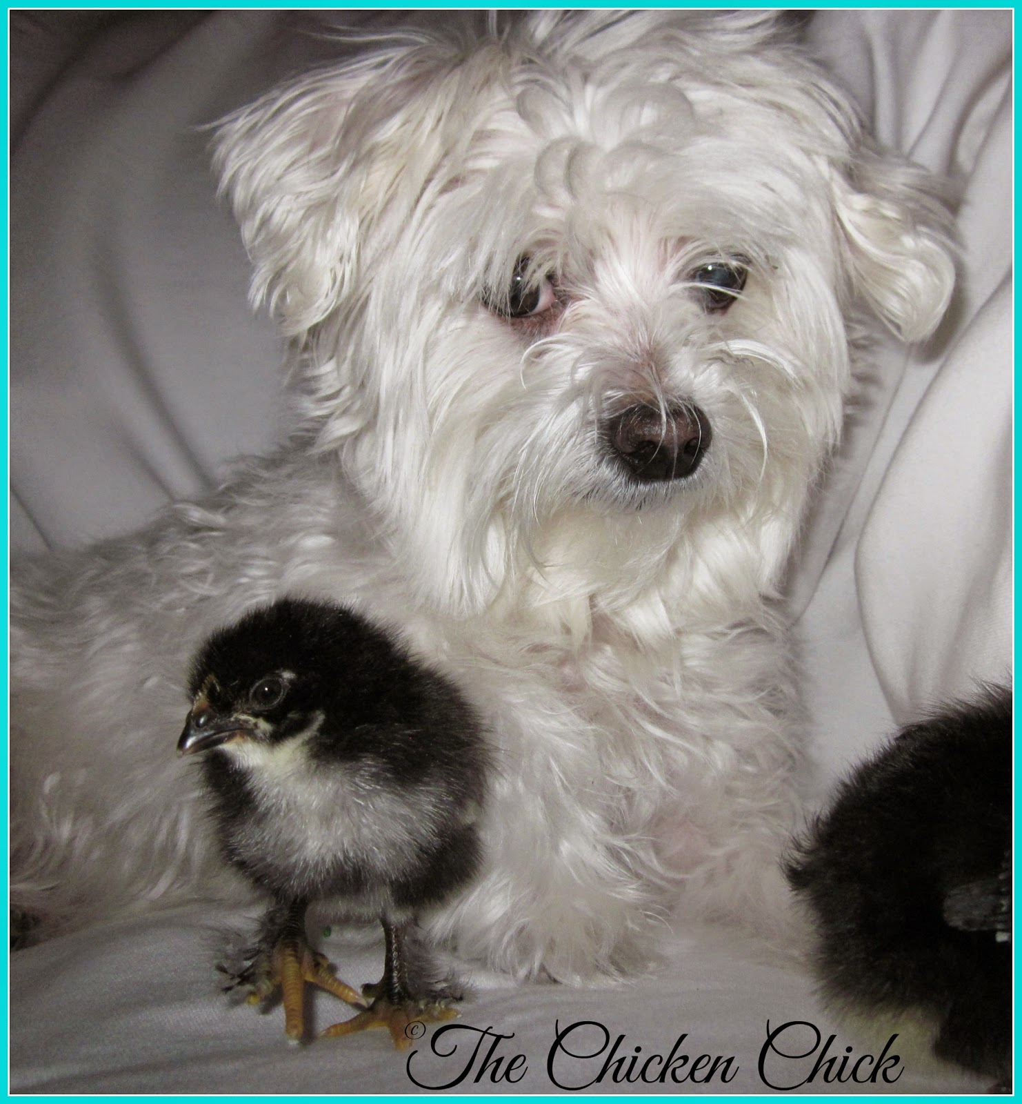 Molly, my Maltese dog with Black Copper Marans chicks