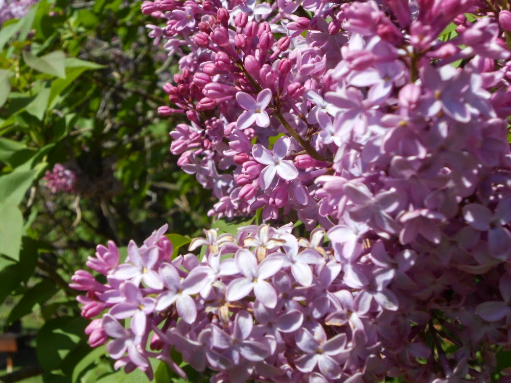 when lilacs last in the dooryard When lilacs last in the dooryard bloomed by walt whitman 1 when lilacs last in the dooryard bloomed, and the great star early drooped in the western sky in the.