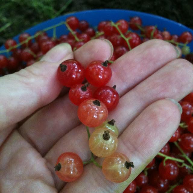 sokszínű ribizli fürt redcurrant colours beads jam cooking