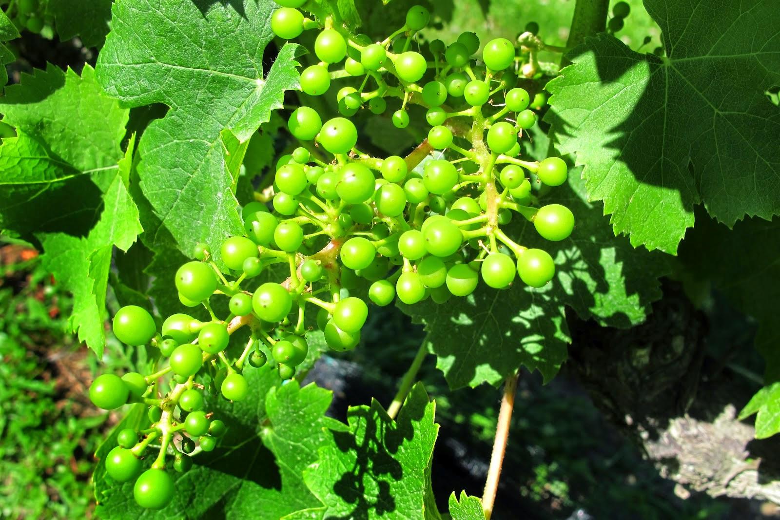 May in California vineyards