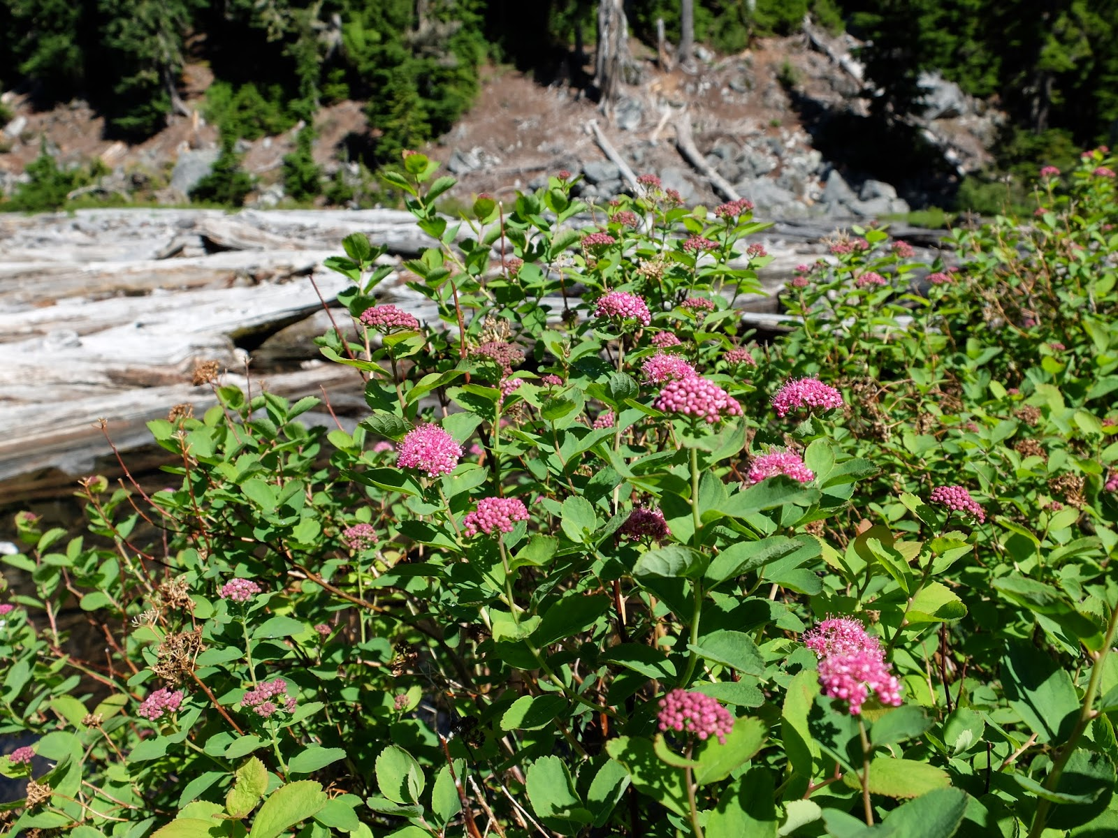 Spirea spendens (by Lake Malachite)