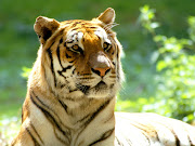 Animales en peligro de extinción (fondos animales tigres )