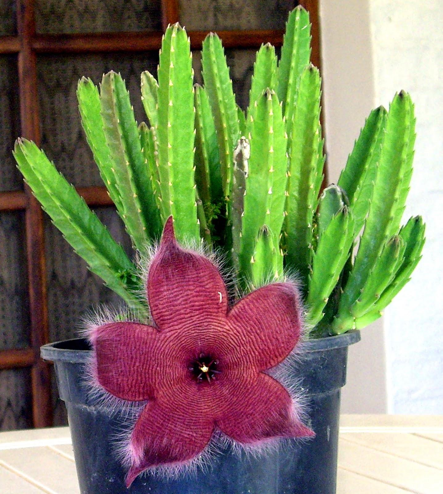 Tutuna mituna stapelia flor estrella for Nombres de cactus