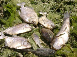 peixes mortos por agrotóxico - pessoas bebem essa água!