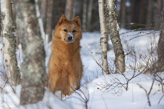Finnish Spitz Puppy Image