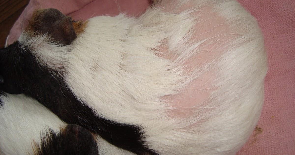Geetasharmavet Skin Infection Guinea Pig