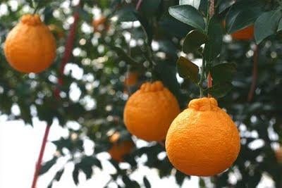 http://4.bp.blogspot.com/-R-5WkvavRFg/T79fNuQRb9I/AAAAAAAAAa0/HMajt7pTehQ/s400/oranges+in+JEju.jpg