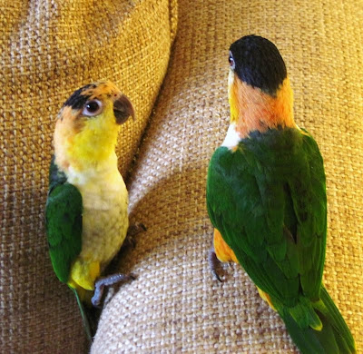 caique parrots playing