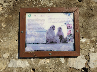 Barbary Macaque information