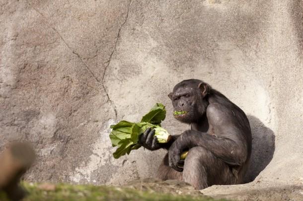 Chimpanzés são capazes de cozinhar alimentos