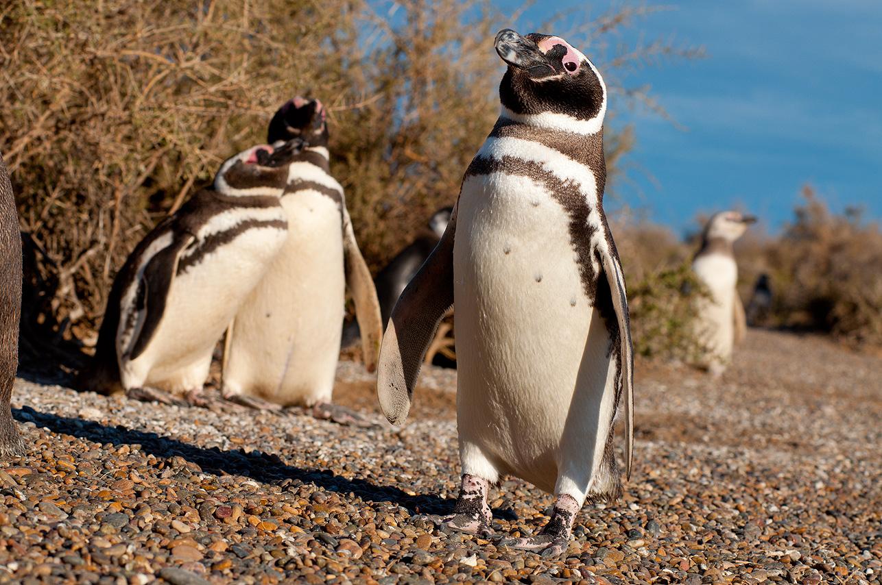 Pingüino en Punta Tombo