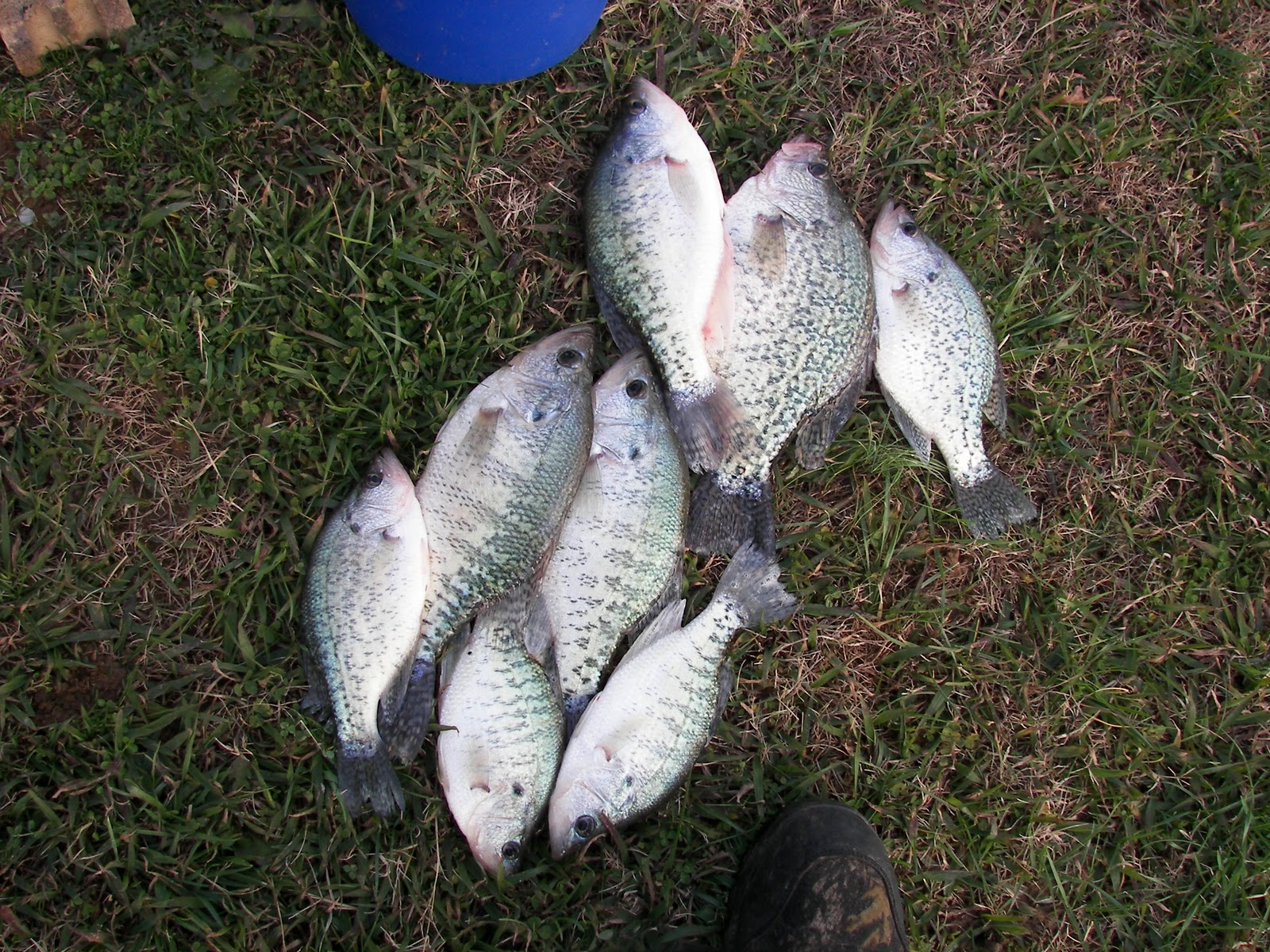 East tn crappie douglas lake and cherokee lake fishing for Crappie fishing in tennessee