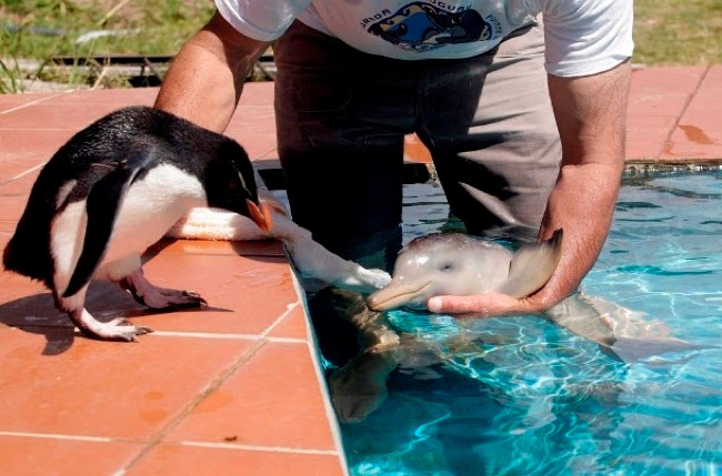 #20. A penguin observes as Richard Tesore of Rescate Fauna Marina nurtures a baby river dolphin. - 24 Happy Animal Photos Made Possible By The People Who Saved Them.