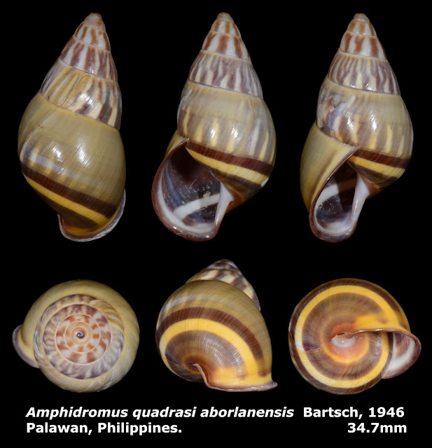 Amphidromus quadrasi aborlanensis 34.7mm