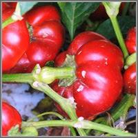 Сладкий перец сорт «Рубиновый»