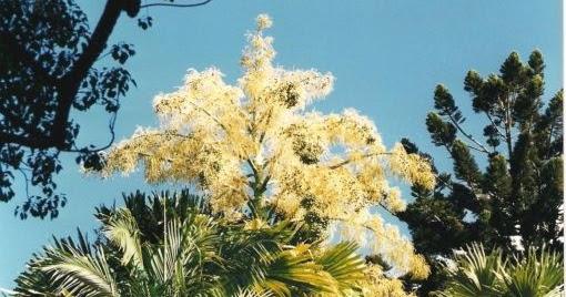 Palmier talipot flore de l le de la r union for Entretien jardin reunion