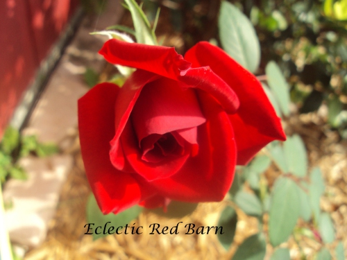 Red rose symbol of love