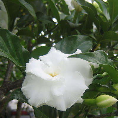 Foto Bunga Melati Tercantik