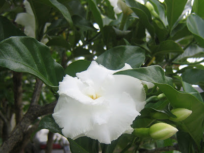 Jasmine Flower, Perfect Beauty