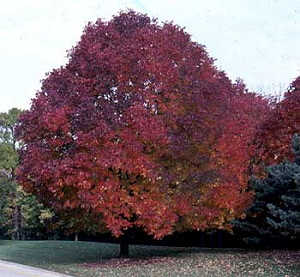 Autumn Ash1
