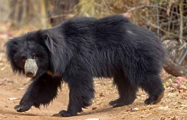 Indian Bear, Sathyamangalam Wildlife Sanctuary