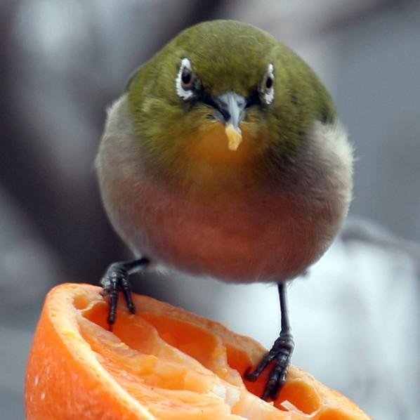 Burung Kacamata Jepang Dada Putih 598x598